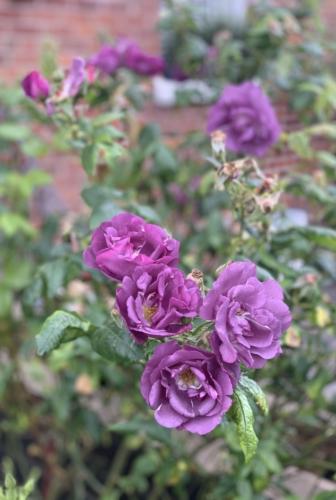 Cudny fiolet